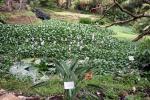 Hierzulande teure Wasserpflanzen